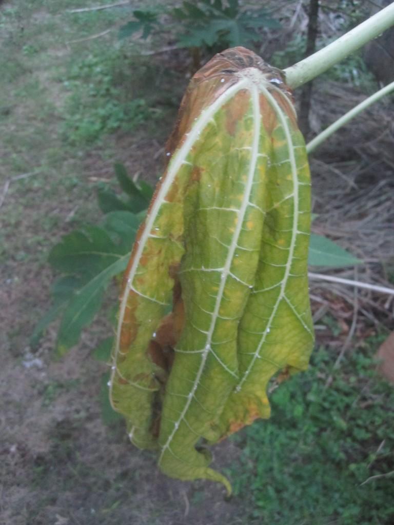 カイガラムシにより完全に萎れ枯れ果てたパパイアの葉