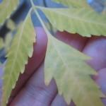虫除けニームの木が枯れる(ノД`)ノ葉が黄色くなる原因は肥料不足?水のやり過ぎ?根腐れ?