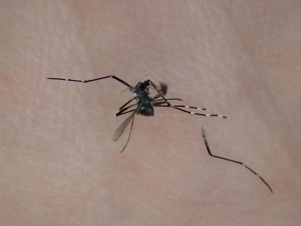 ピン!と張った足がもげた蚊の死体