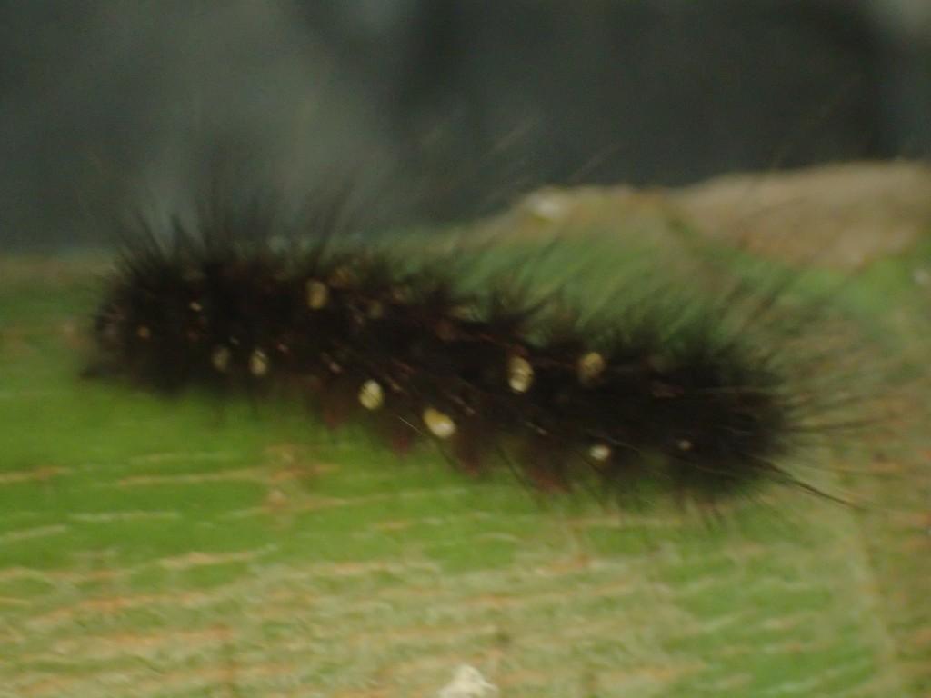 黒いクマケムシに白いカイガラムシが貼り付いている
