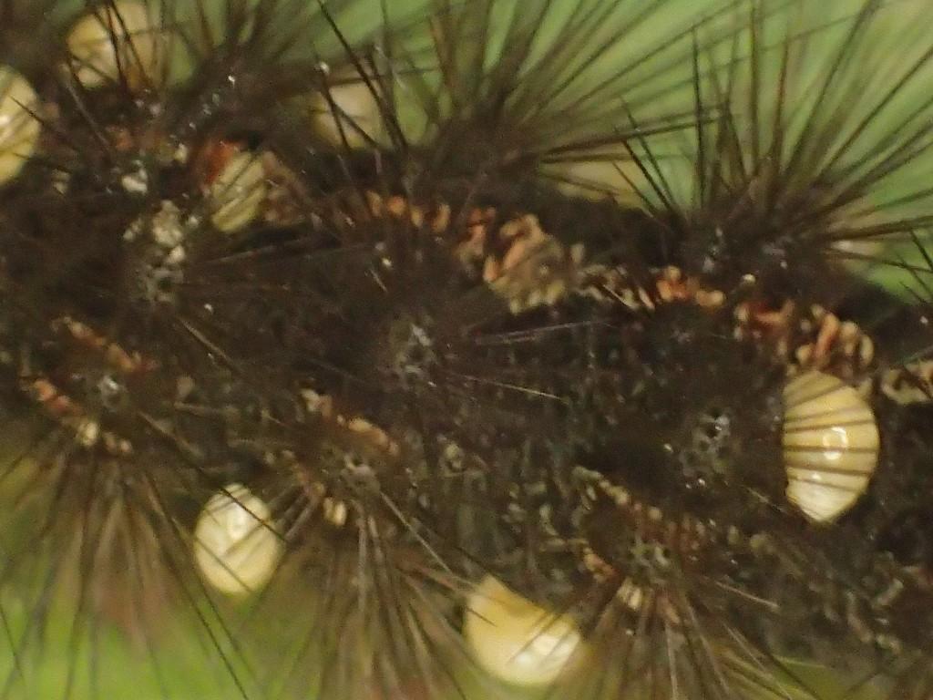 毛の長い幼虫クマケムシがミカンコナカイガラムシに寄生される?