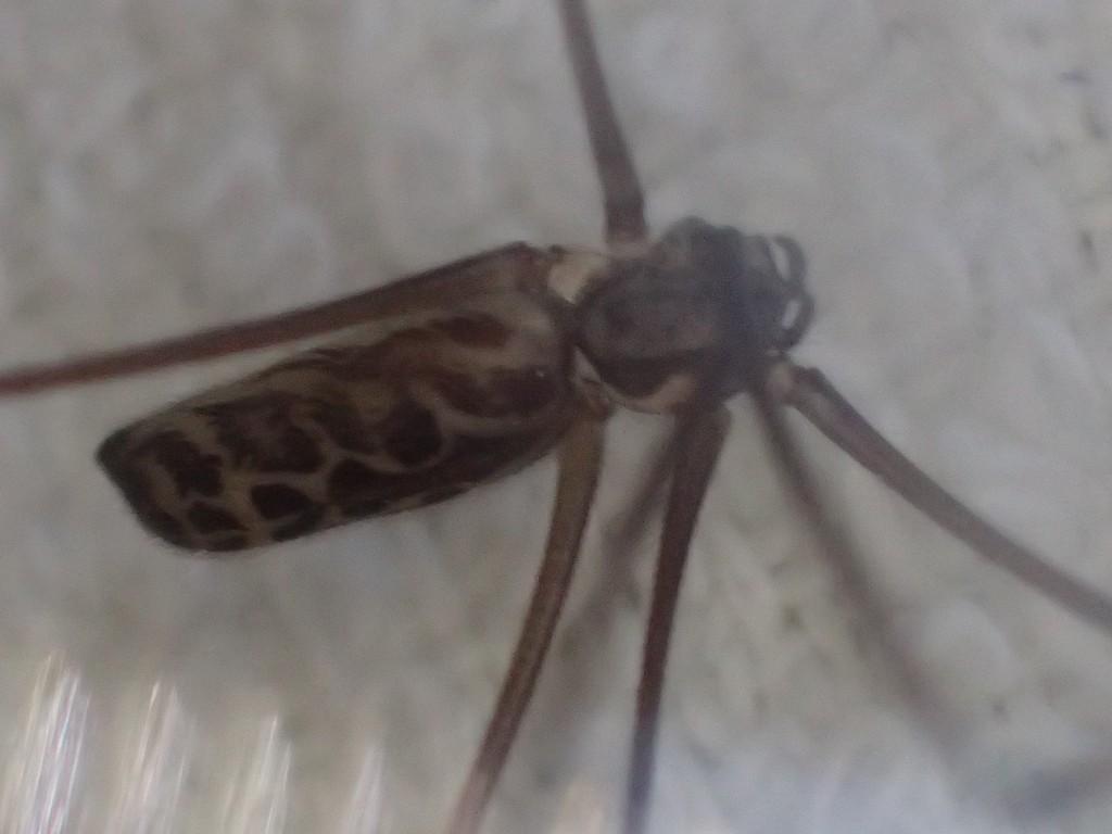 非常に臆病で見た目が怖いが虫を捕獲する益虫の蜘蛛である