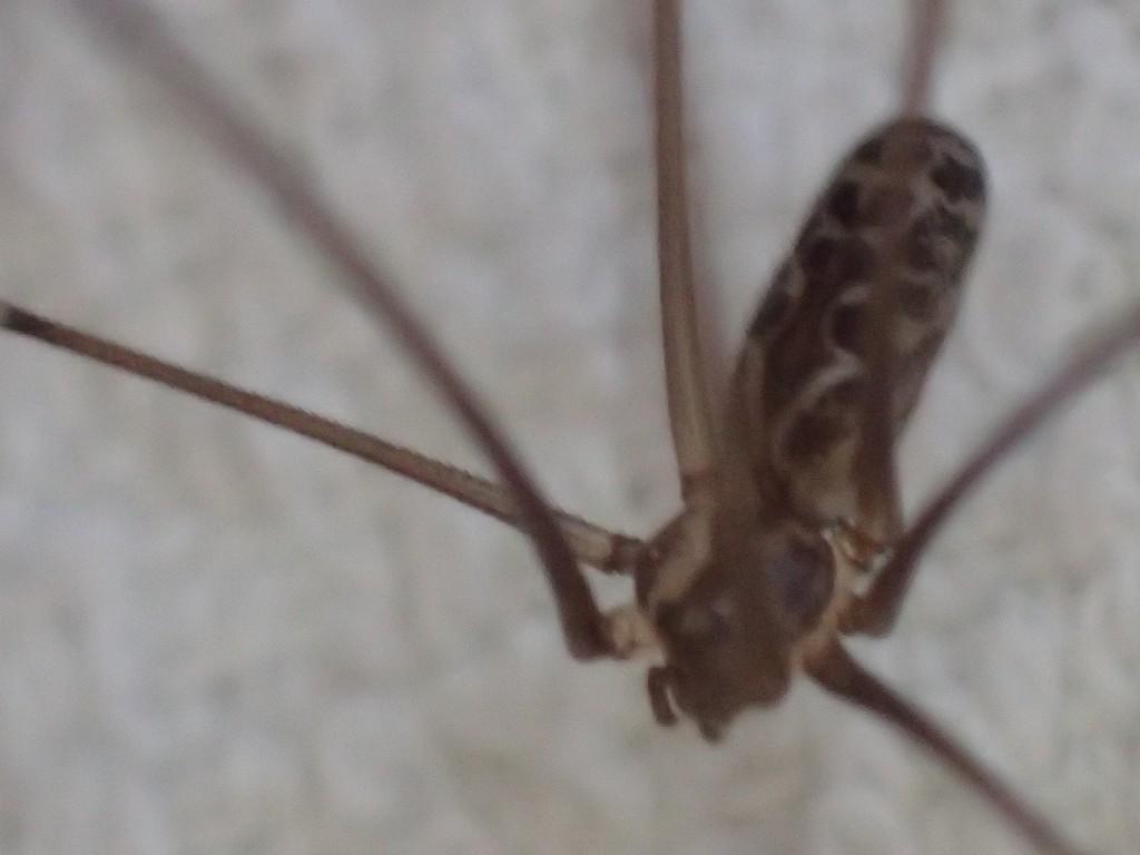 体長5,6センチほどのサイズのイエユウレイグモ