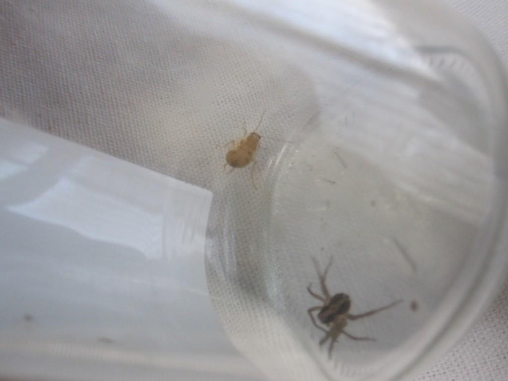 ハシリグモと幼齢のワモンゴキブリが同居した奇妙な空間