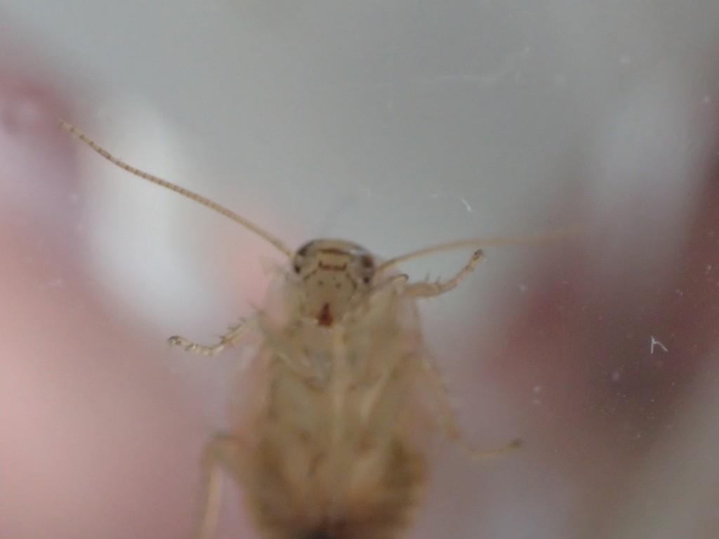 幼齢ワモンゴキブリの顔面アップ