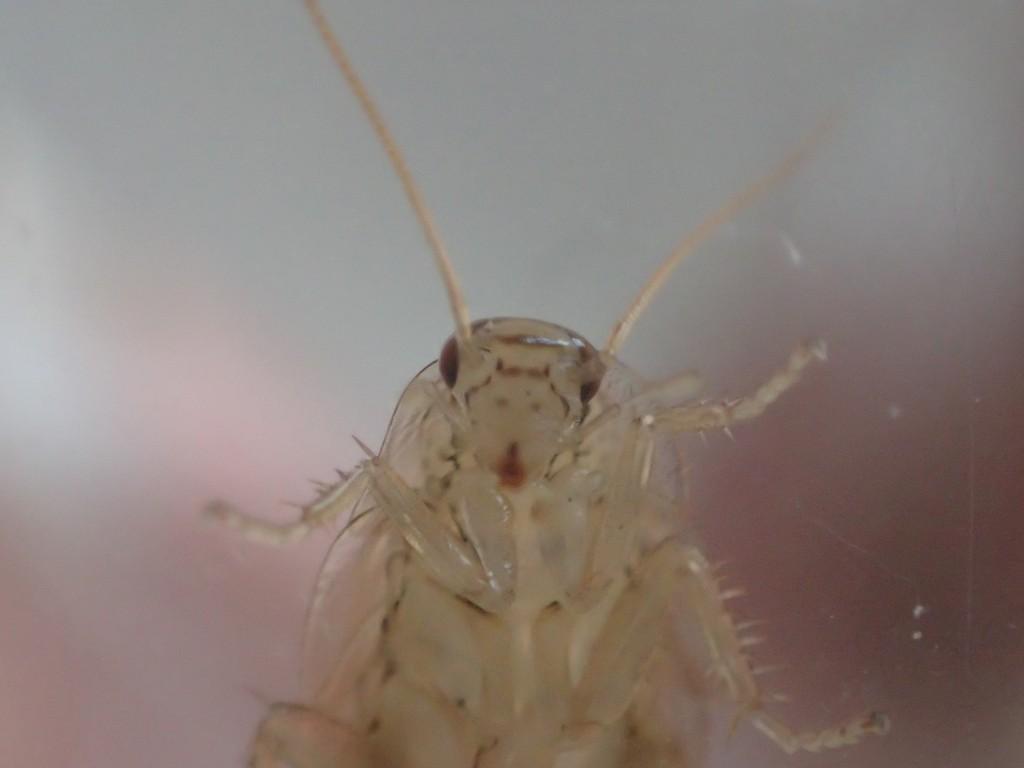 幼齢ワモンゴキブリの顔面を更にアップ