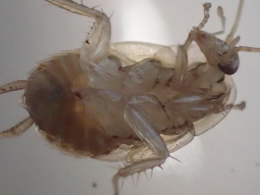 手(脚?)を口で掃除するゴキブリの全体図