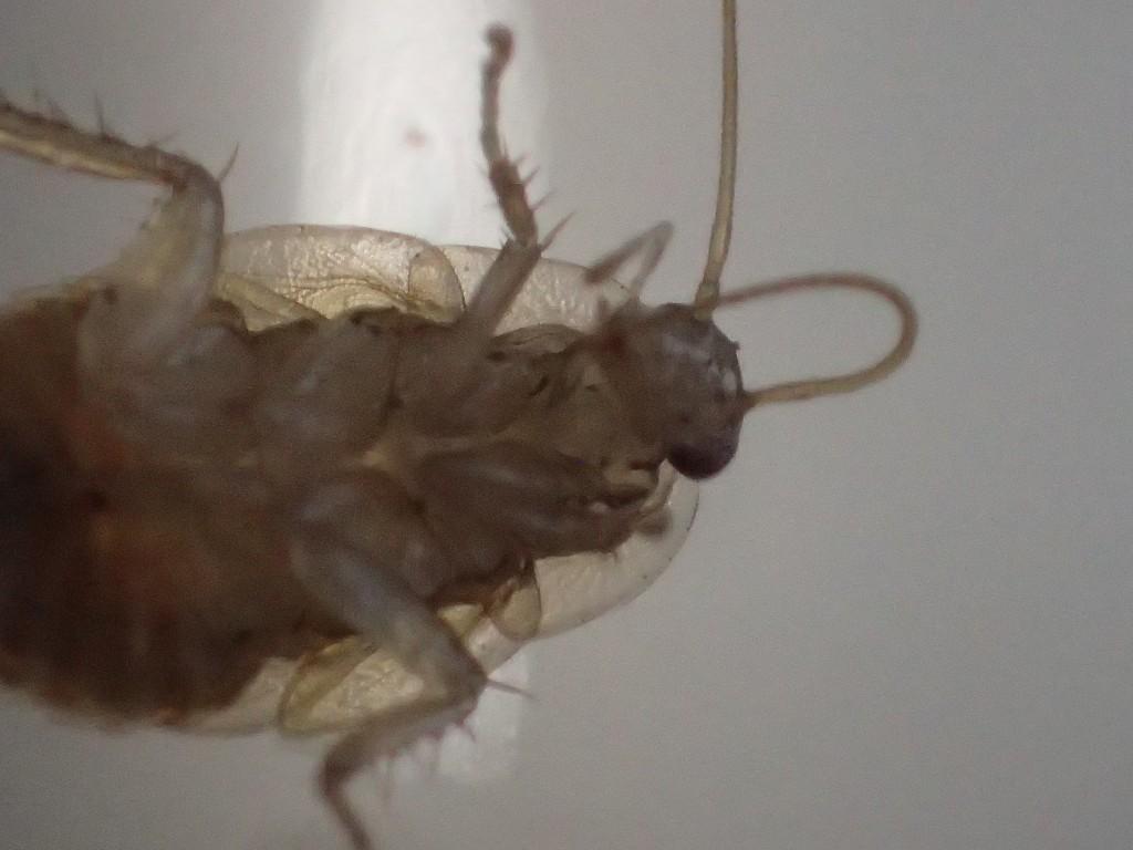長い触覚を器用に折り曲げて掃除するゴキブリ