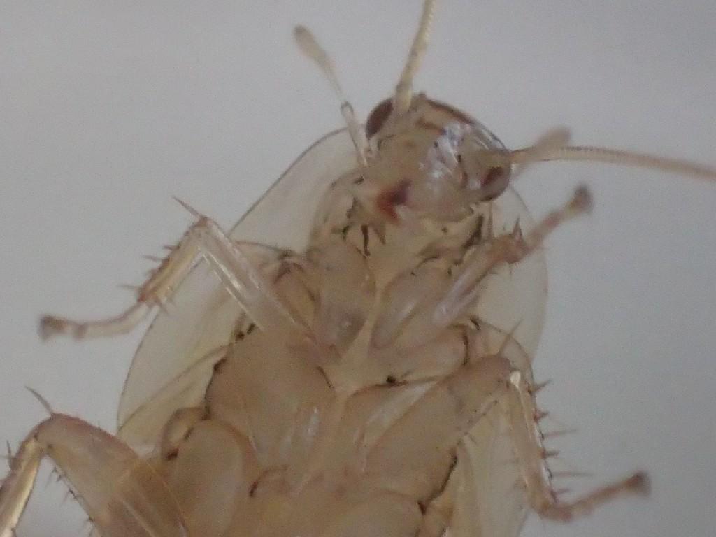 口をモゴモゴ動かして微動だにしないワモンゴキブリ幼虫