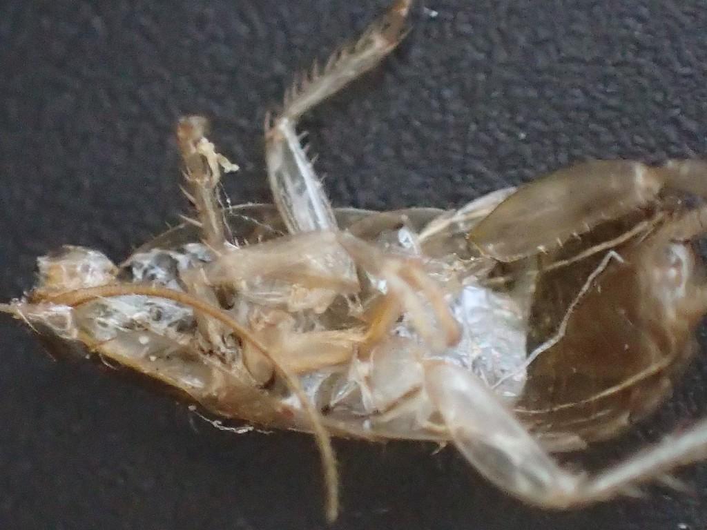 幼齢ワモンゴキブリが脱皮した証拠となる殻