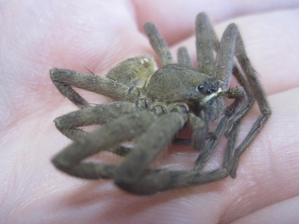アシダカグモは徘徊性の大型の蜘蛛