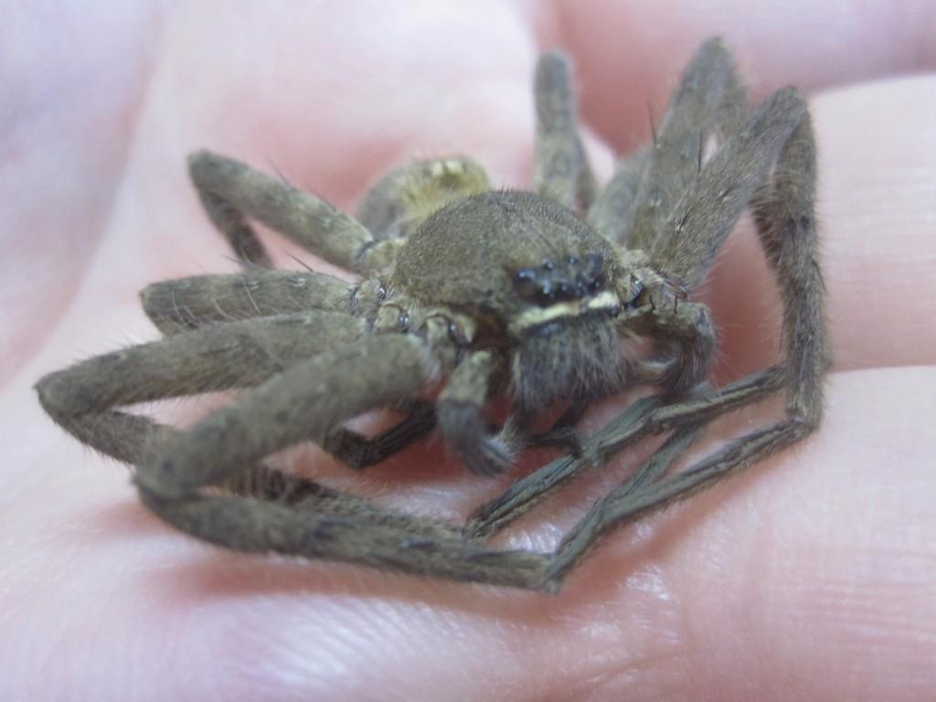ゴキブリ最大の天敵アシダカグモ