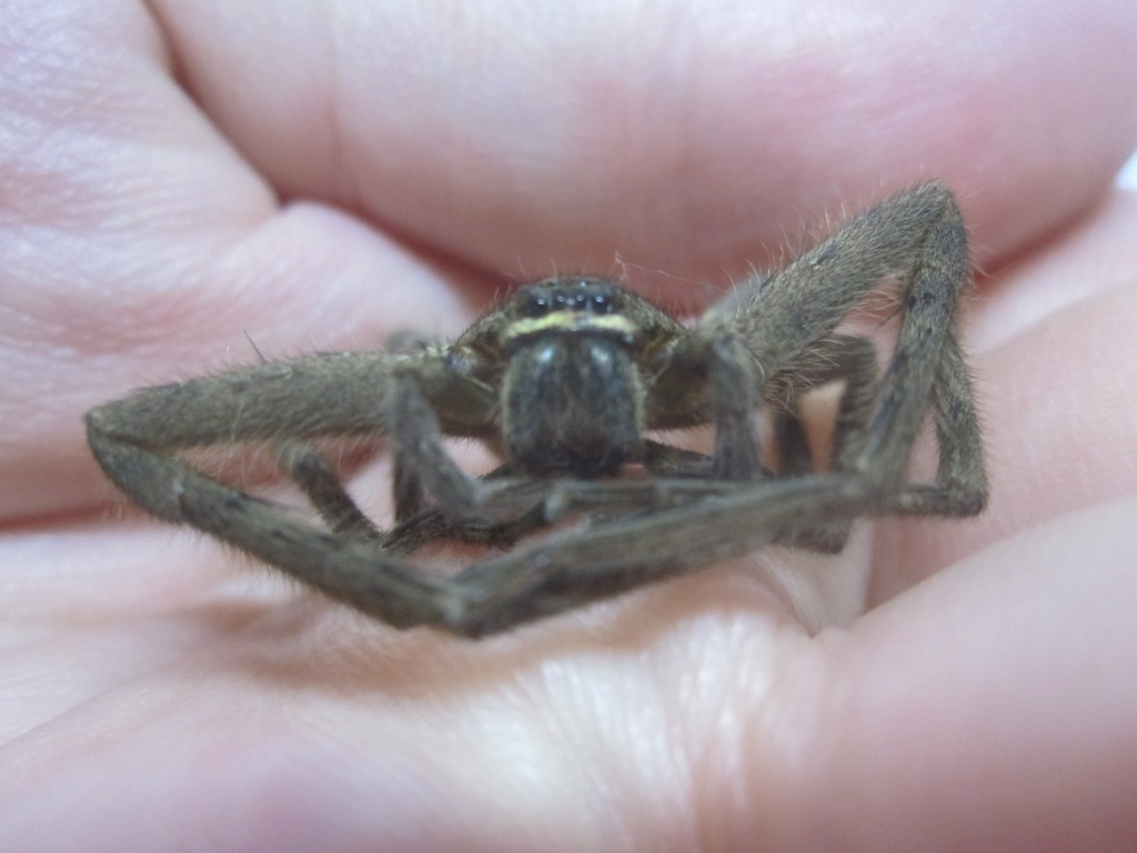 アシダカグモの顔を真正面から撮影した写真・画像