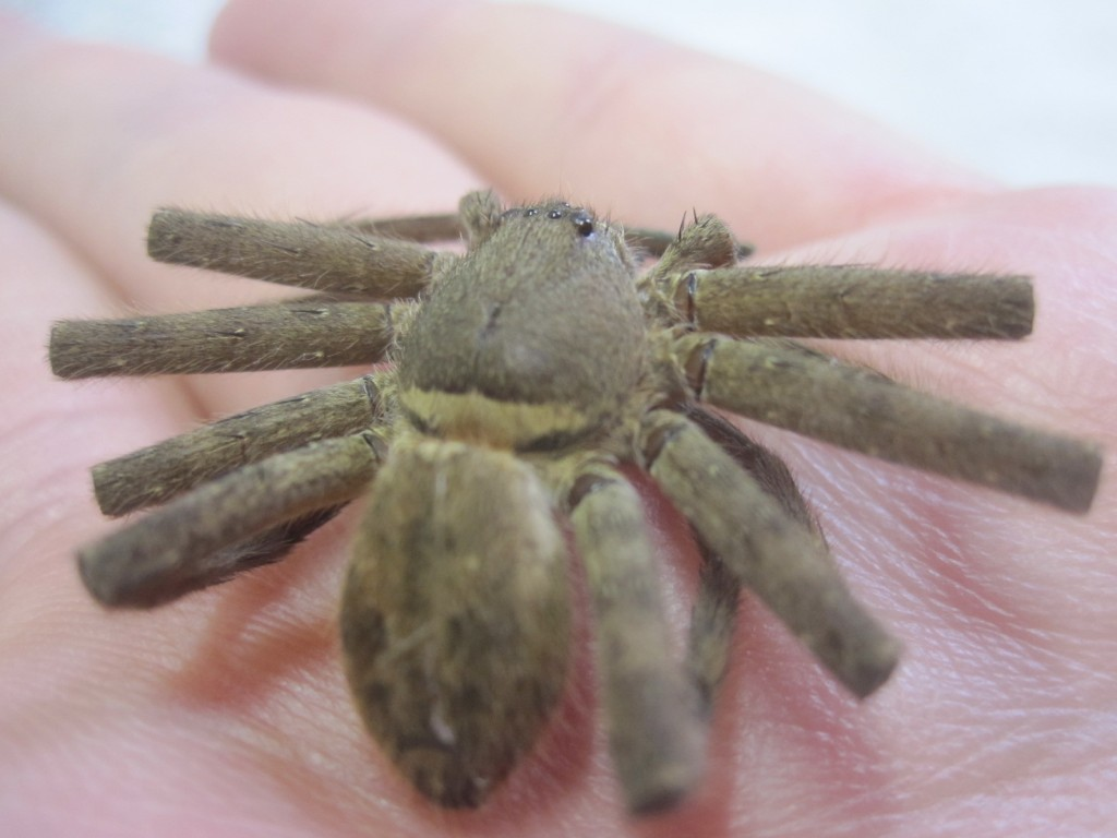 アシダカグモを斜め後ろから撮影した写真・画像