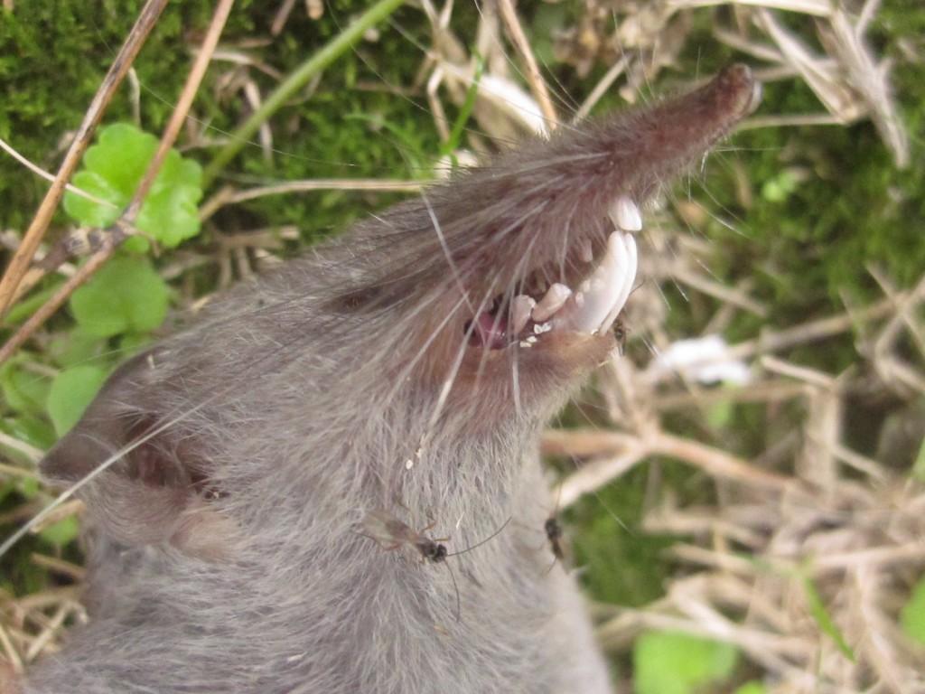 まるでゲゲゲの鬼太郎のネズミ男そっくりなネズミの亡骸