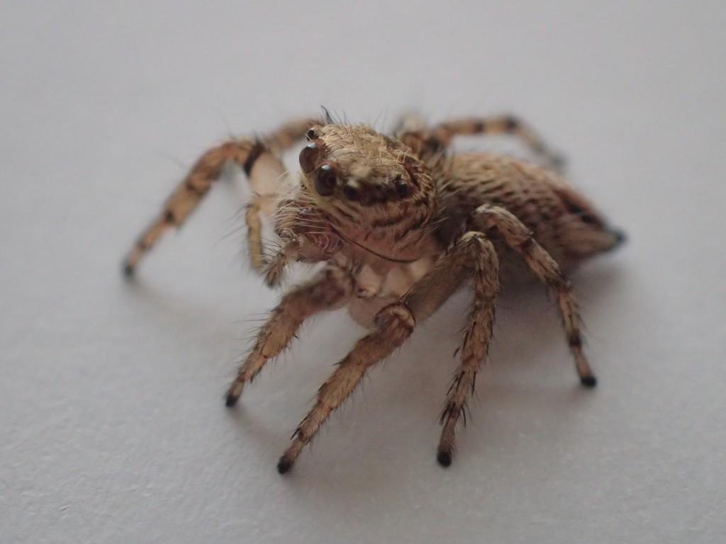 カメラのレンズに顔を向けるハエトリグモ