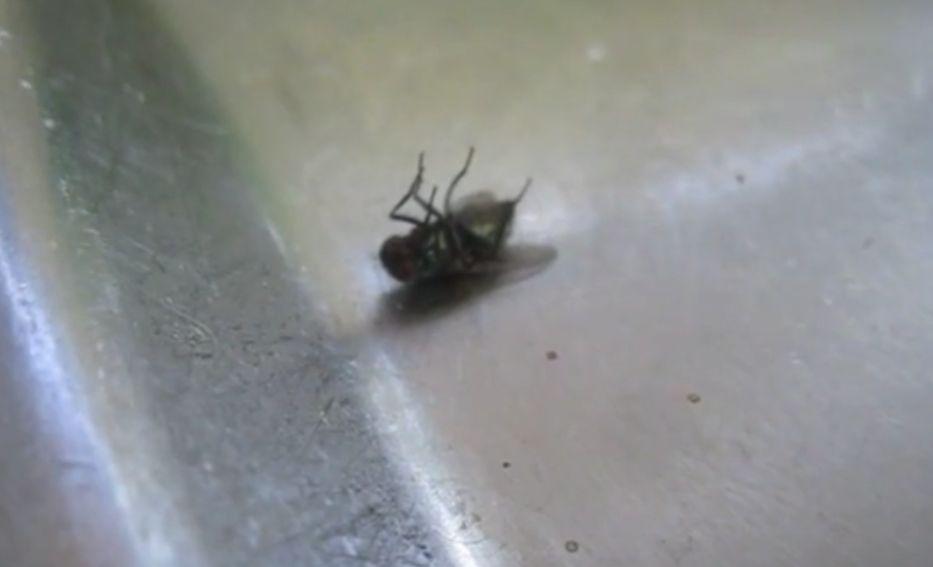 空中でハエ叩きの一撃を喰らい墜落した害虫の蝿(ハエ)