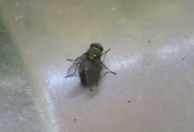 死んだふり(擬死)をする賢い知能を持った害虫の蝿(ハエ)