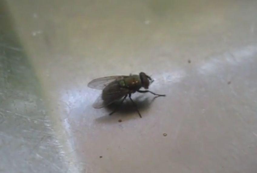 見た目に似合わず頭の良い昆虫の蝿(ハエ)