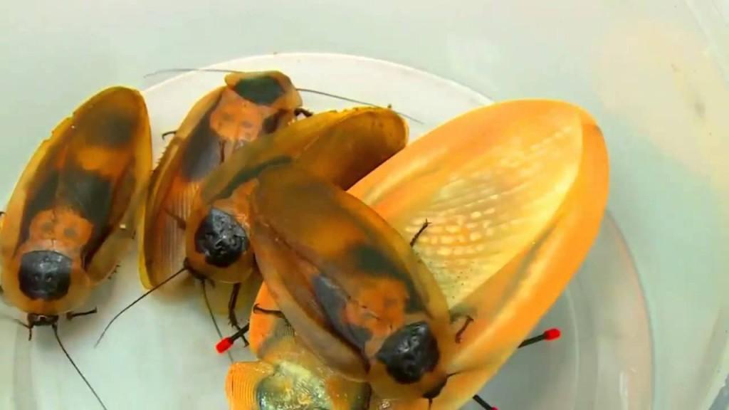 お皿の上にセットしたゴキブリ型ロボット