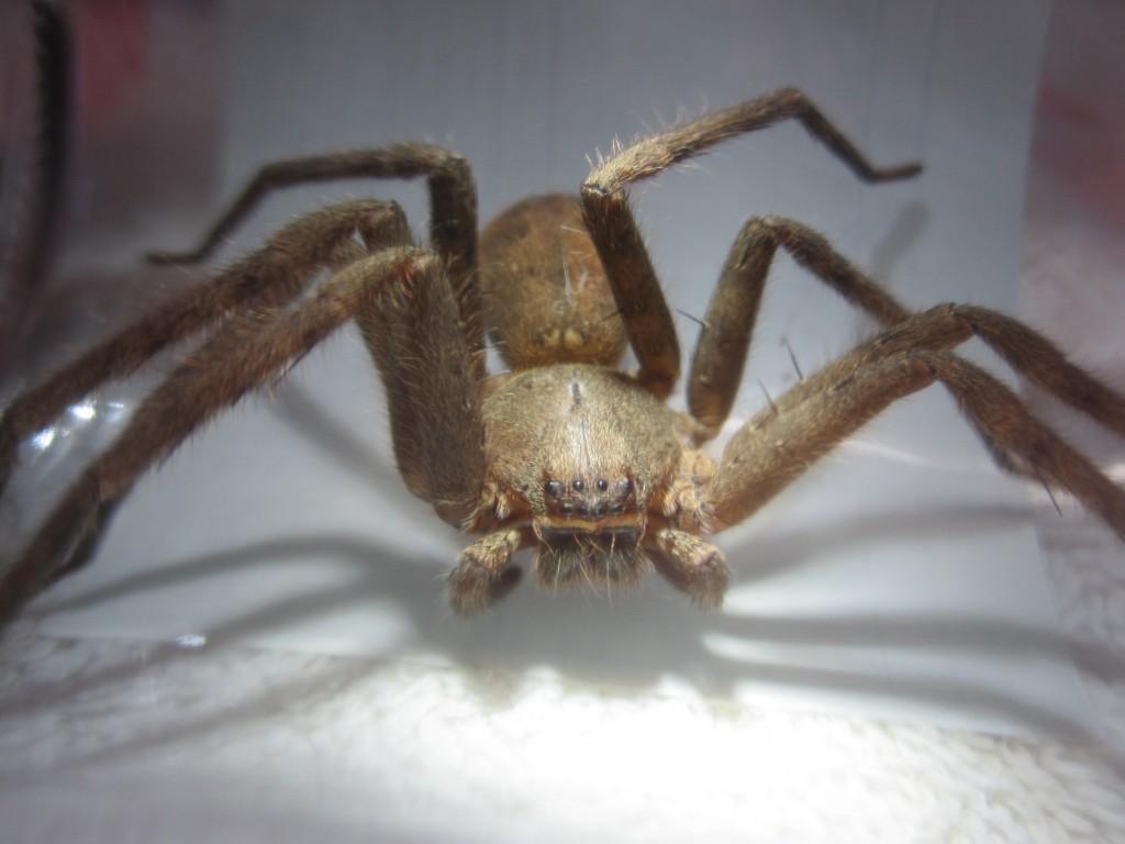 害虫ゴキブリの天敵(軍曹こと)アシダカグモ[蜘蛛]