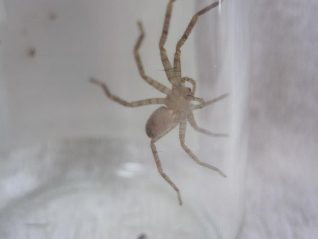 ゴキブリの天敵であり益虫のアシダカグモ(蜘蛛)