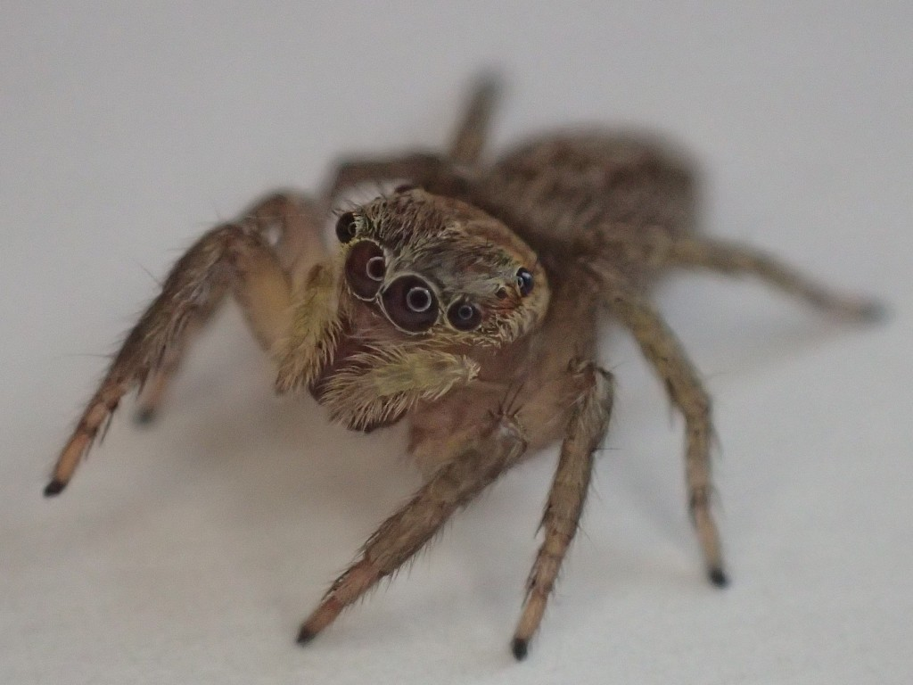 益虫 ハエトリグモ(蠅捕蜘蛛)jumping spider