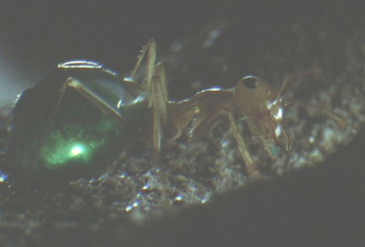 鮮やかな緑色の腹部を備えたアリ(蟻)