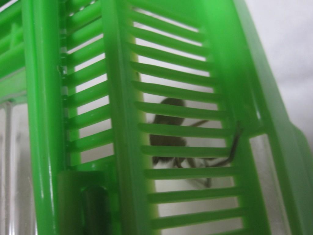 飼育箱の屋根から足を出して様子を探るアシダカグモ