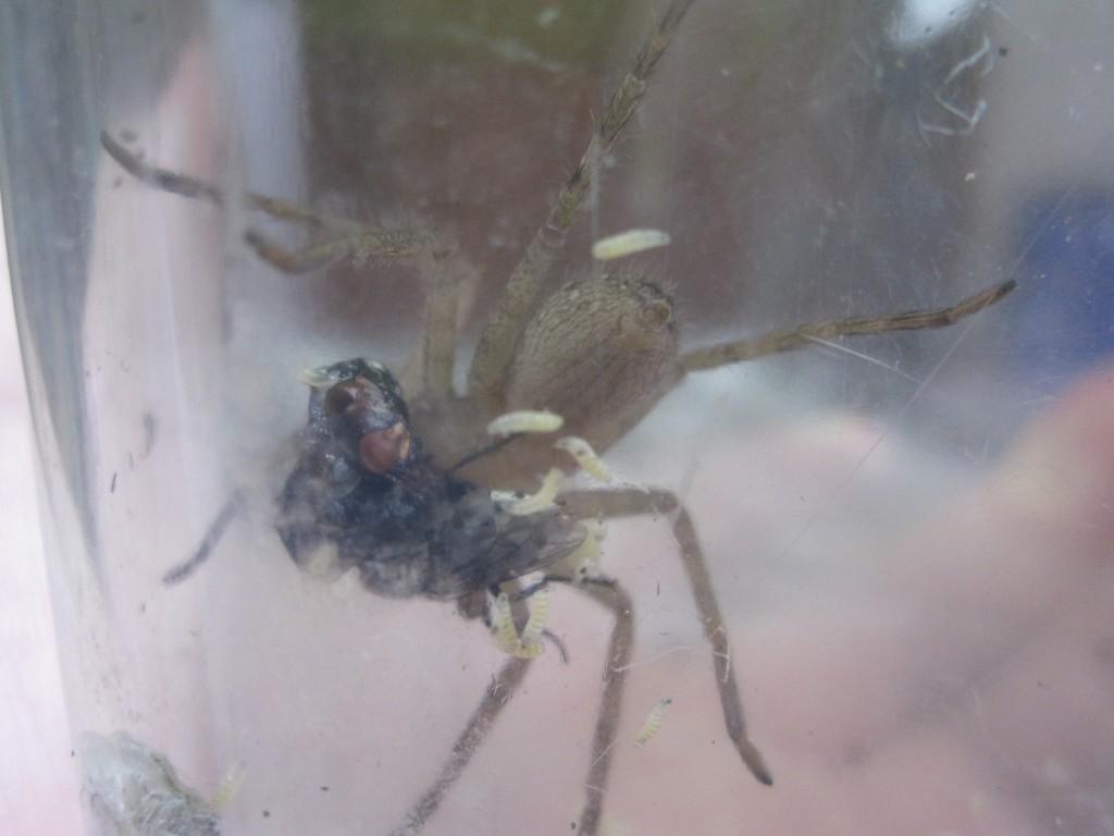捕獲したセンチニクバエの逆襲!?ウジ虫を解き放たれパニクるアシダカグモ!