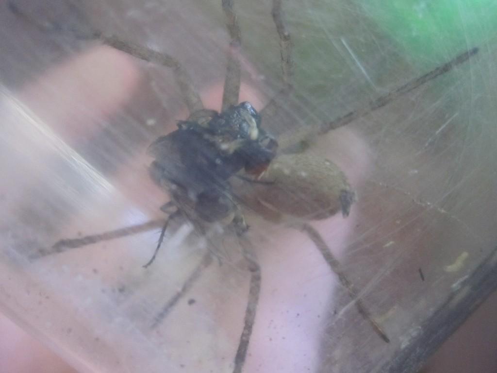 脚を登る蛆虫を振り払うアシダカグモ