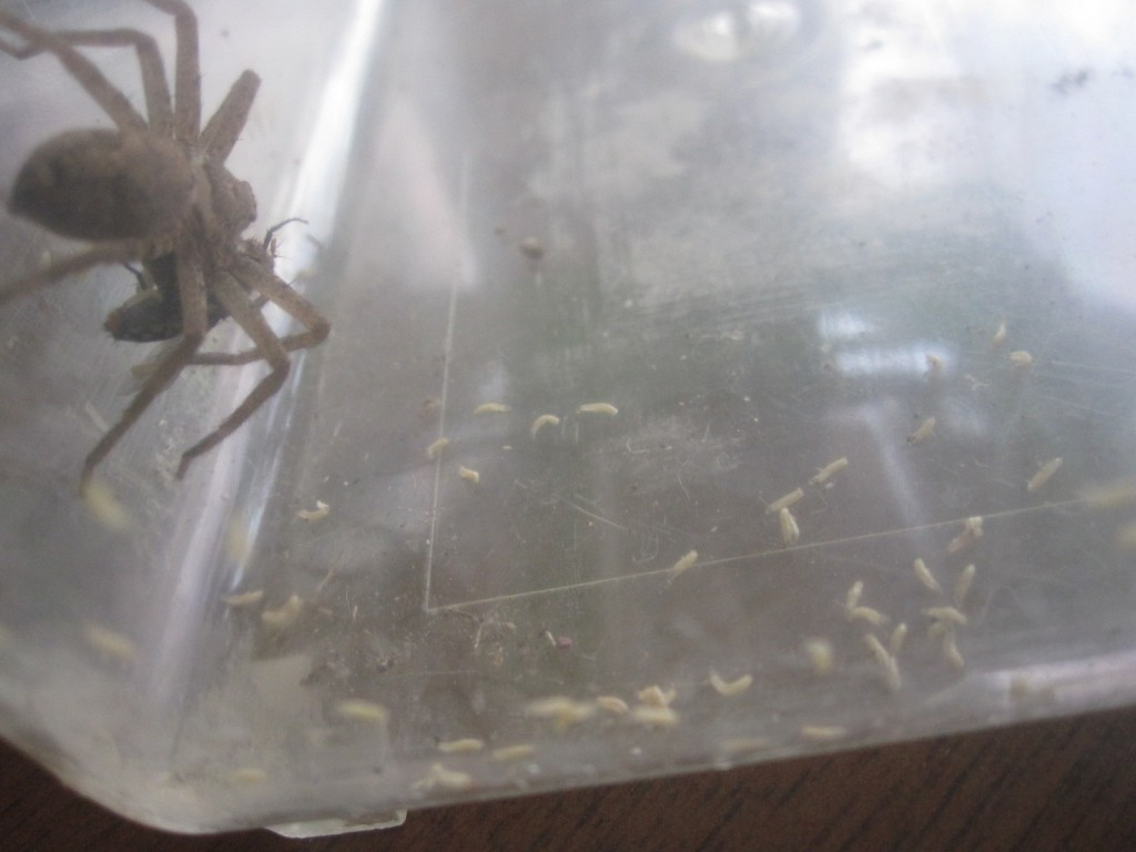 虫カゴの床を這い回る肉蠅の赤ちゃん(蛆虫)
