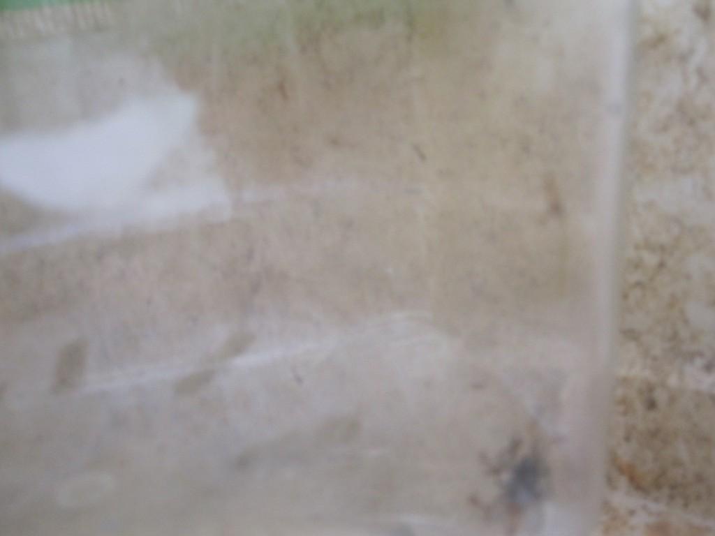 アリたちがウジ虫を1匹残らず捕まえて巣に持ち帰ってる!
