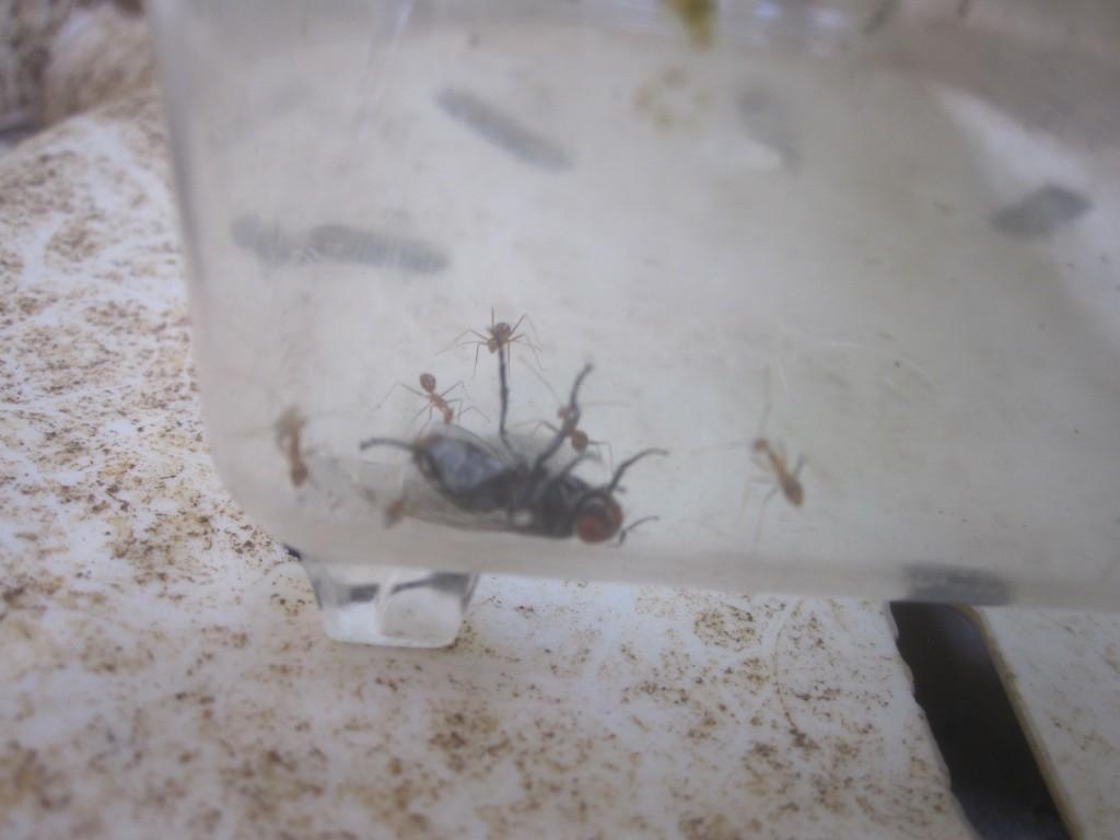 センチニクバエ(肉蠅)もアリが協力して襲っていた