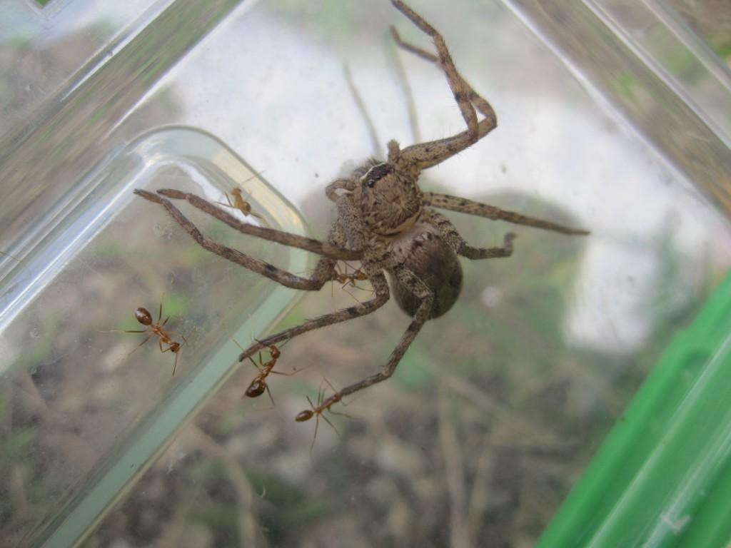 息を吹きかけアリを追い払いアシダカグモを助ける!