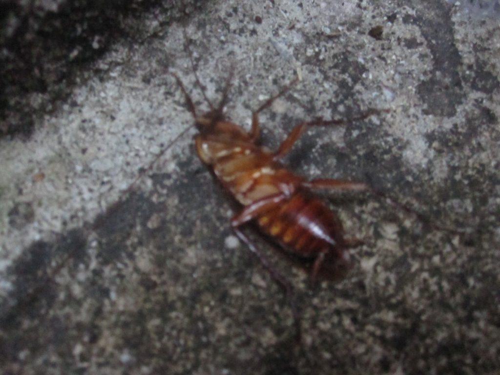 屋外の掃き掃除中に発見したゴキブリ