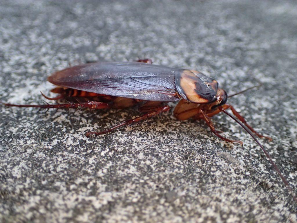うつ伏せ状態がゴキブリにとっての正常な姿勢