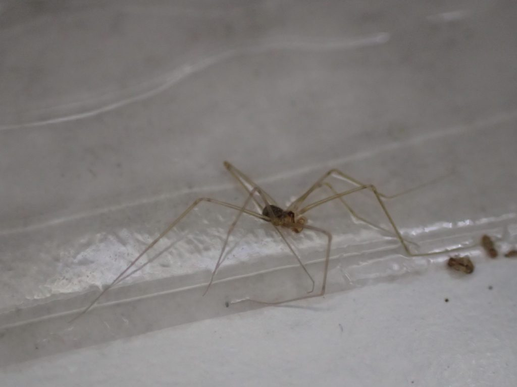幽霊蜘蛛・ユウレイグモ?のような虫も掛かっている