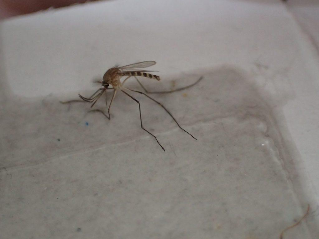 害虫の蚊が地面に設置したゴキブリ粘着シートに掛かっている!