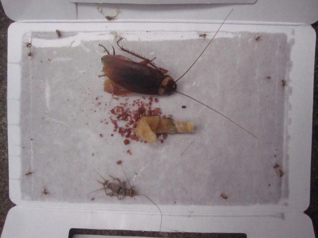 ワモンゴキブリの成虫1匹とコオロギ?カマドウマ?が掛かっている