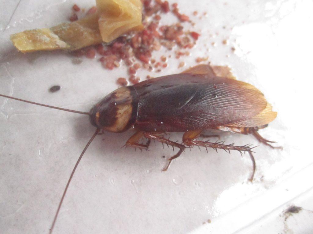 魚の煮汁の匂いに引き寄せられた粘着シートに掛かったワモンゴキブリ