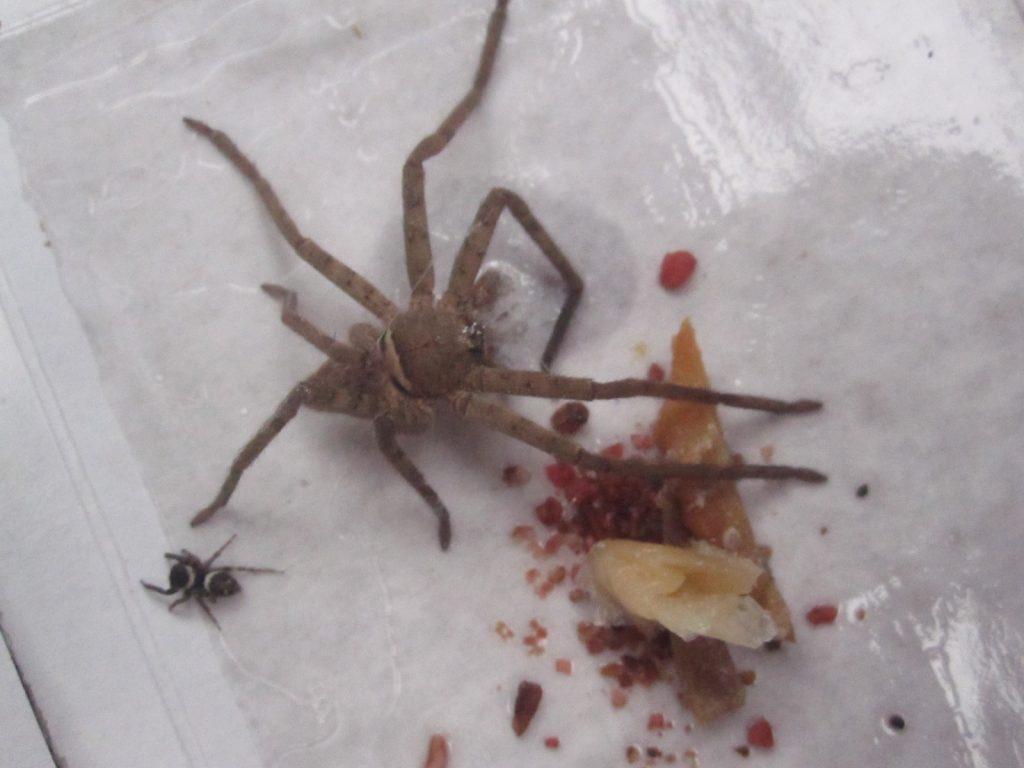 益虫のアシダカグモ、ハエトリグモがゴキブリ粘着シートに掛かってしまった