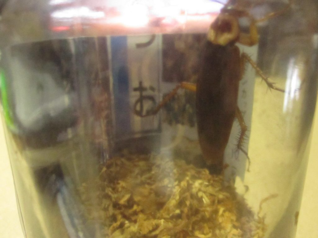 家の中に侵入してきた不届き者の害虫ワモンゴキブリ!
