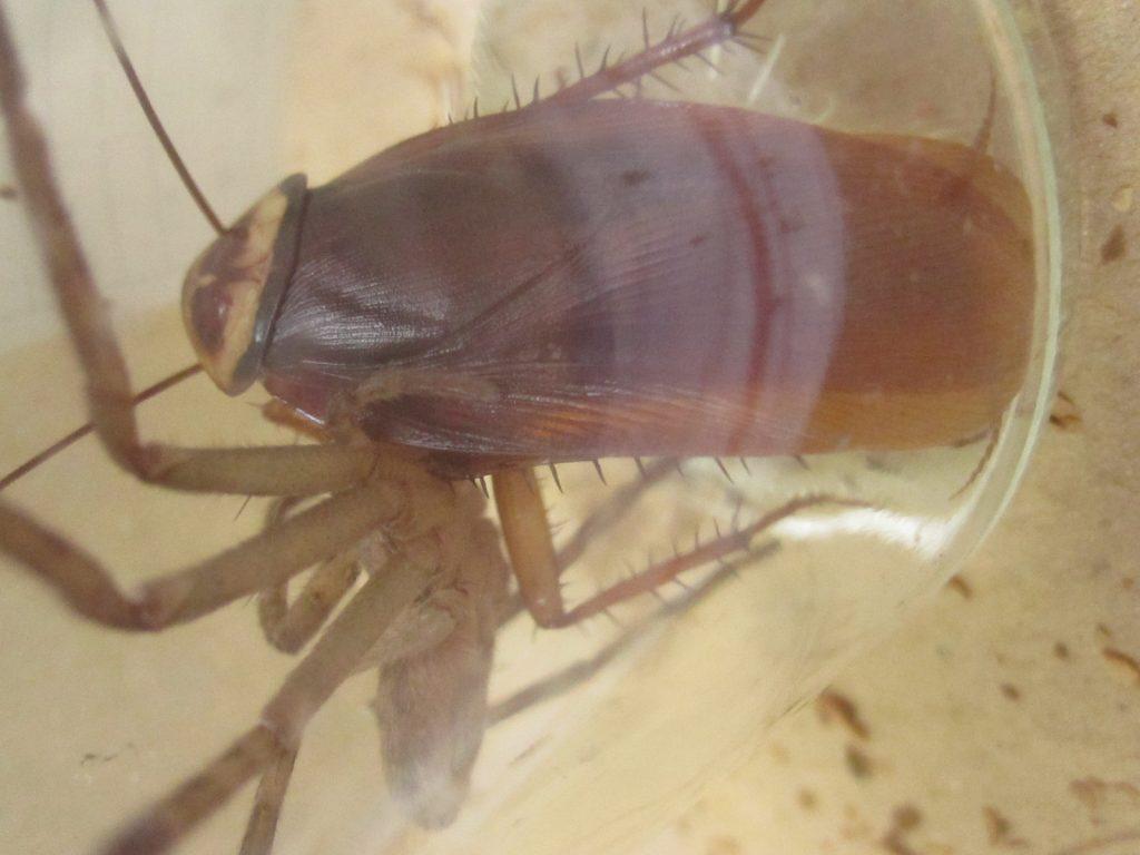 自分より大きなゴキブリを捕食する勇敢なアシダカグモ