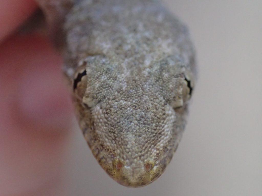 ニホンヤモリの顔に接近して撮影した写真