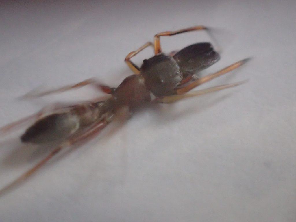 全身・脚を伸ばして狭い場所に身を潜めるアリグモ