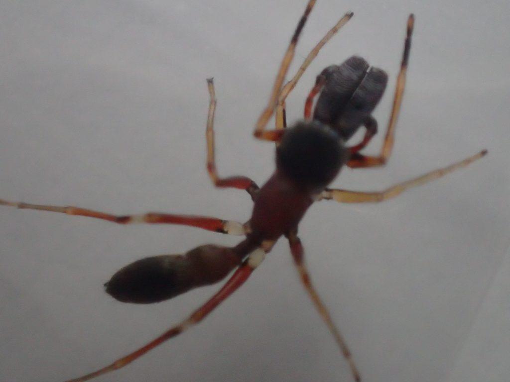 動きがアリとクモ両方にソックリで素早いアリグモ