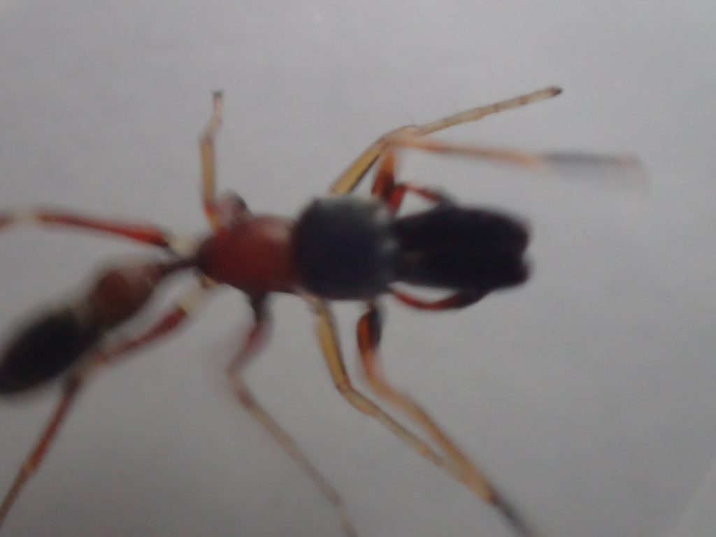 巨大で強靭そうなアゴ・牙が猛々しいアリグモの頭部