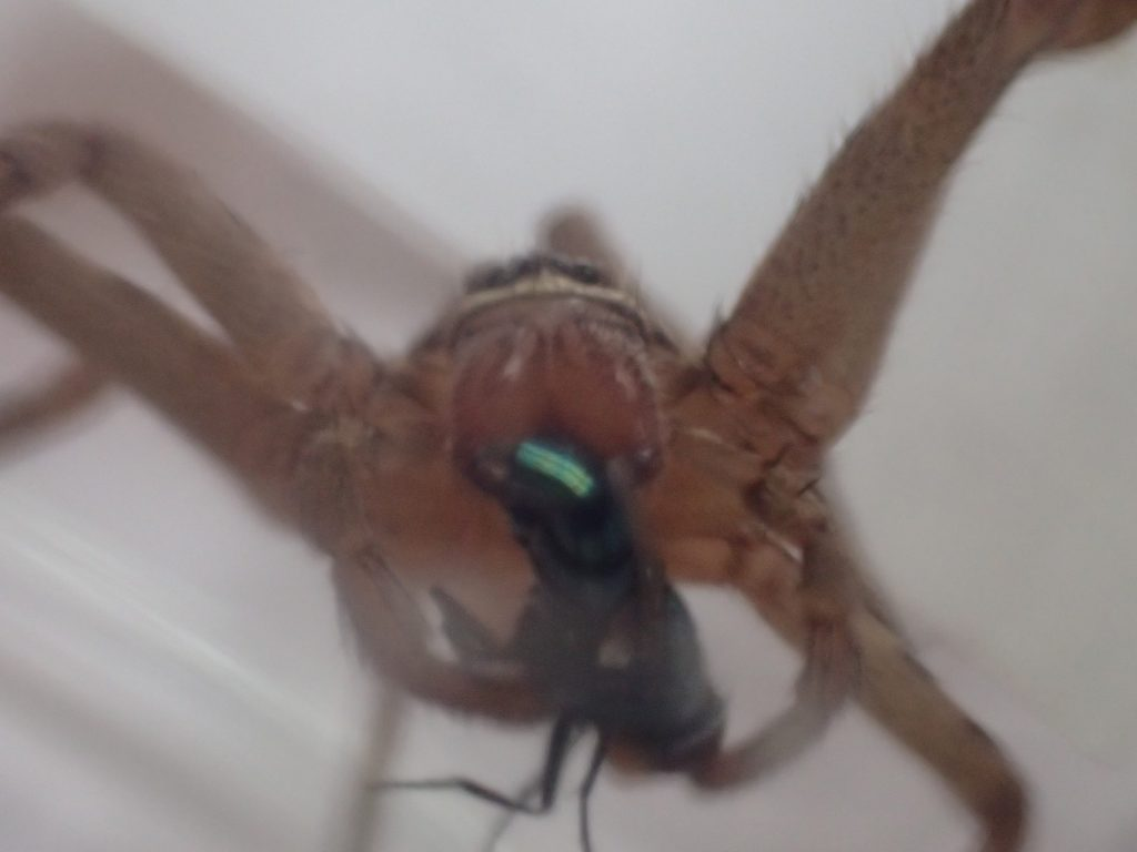 一心不乱に害虫ギンバエを喰らうアシダカグモ
