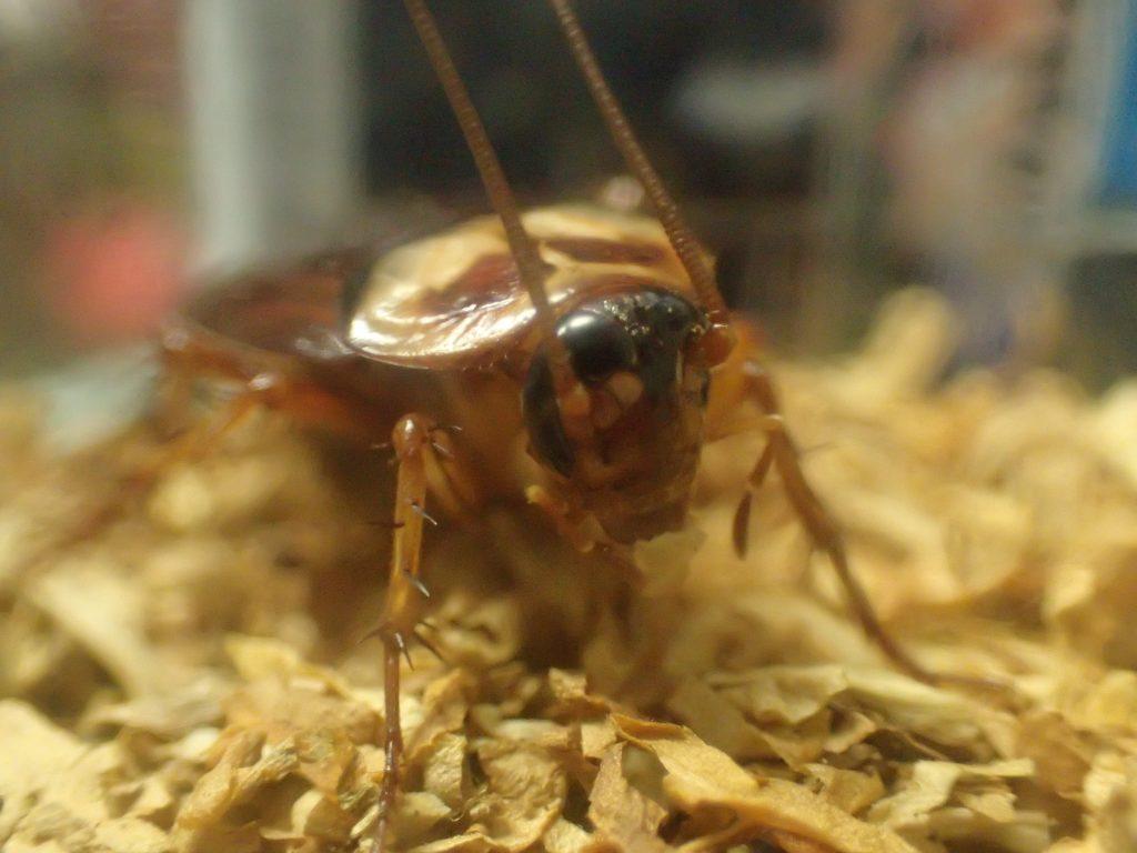 美味しそうにタバコの葉を食べるワモンゴキブリ